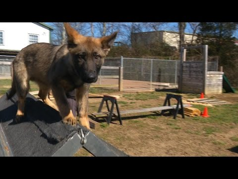 Early Development & Training Of Personal Protection Dogs Puppy Confidence Course