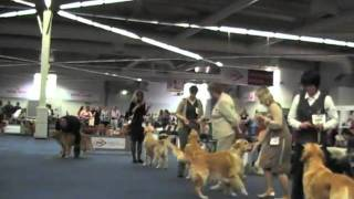 Fci-centenary-winner-show          Golden Retrievers