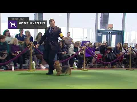 Australian Terrier | Breed Judging (2019)