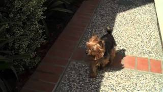 My Yorkshire Terrier