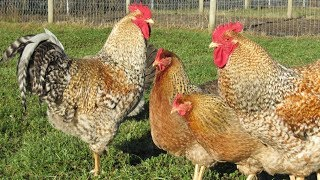 Bielefelder Chickens | Large Dual Purpose Birds