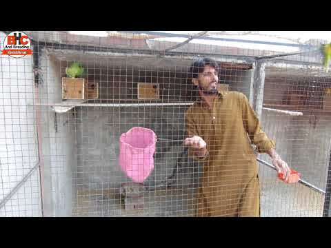 Lovebirds Ki Colony Se Self Chicks Nikalna | African Love Birds Aviary Breeding