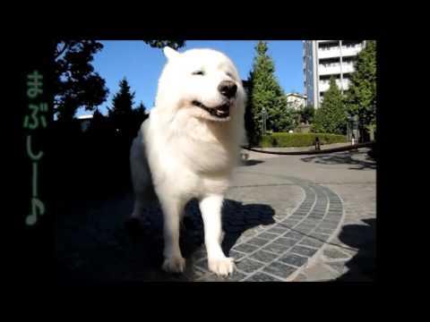 #11 『シベリア生まれ サモエドは風の子』  | サモエド クローカのモフモフ日記 | 犬といっしょ | アイリスペットどっとコム