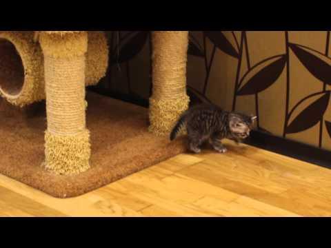 Британские котята Вискас 1 мес помет В