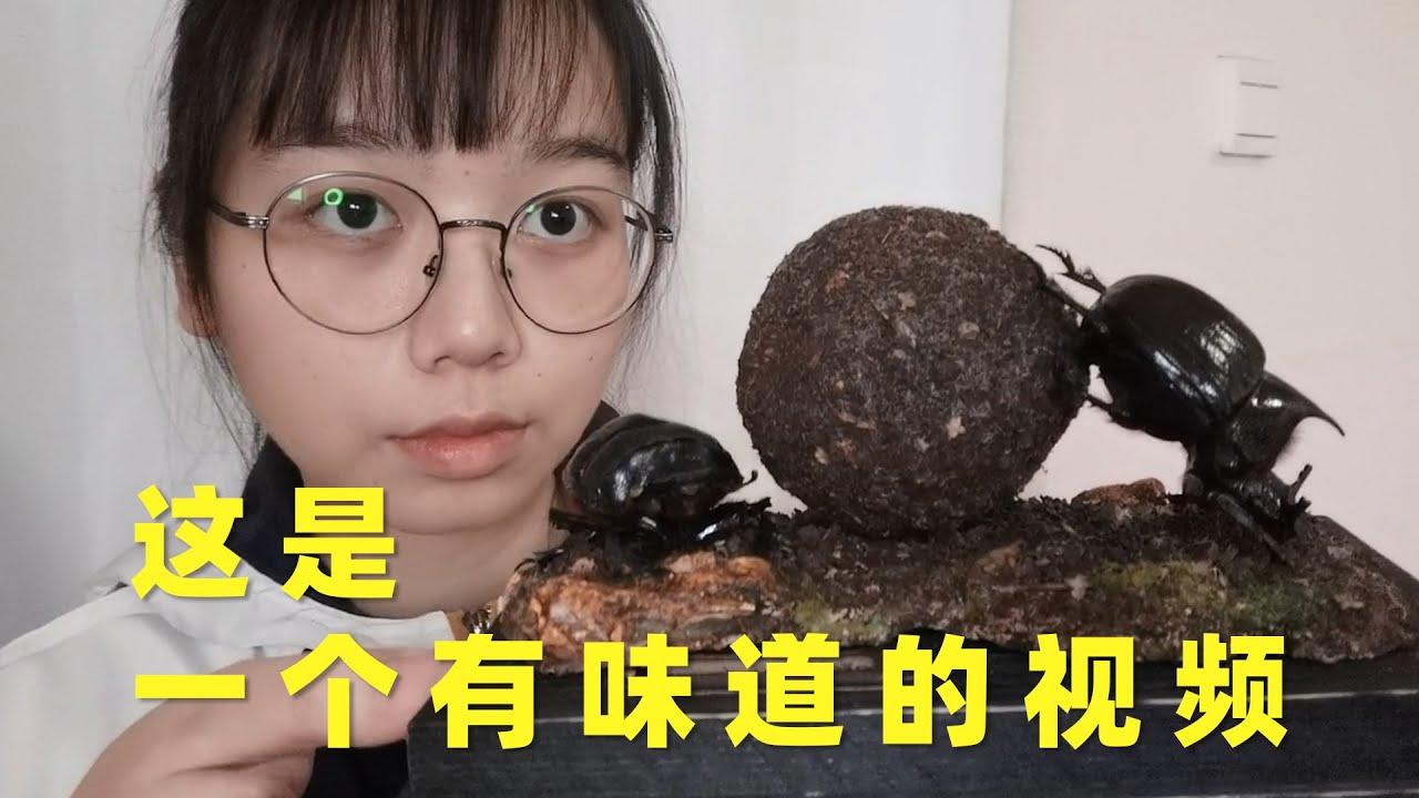 制作世界上最大的屎壳郎的标本,所以这个球是……?