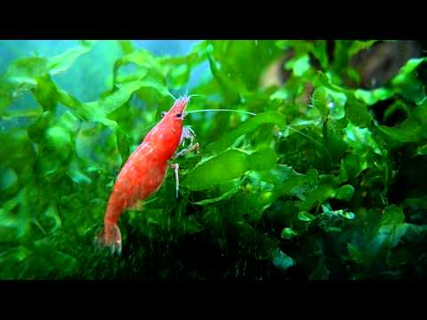 Two pregnant shrimps and Lomariopsis lineata.MOV