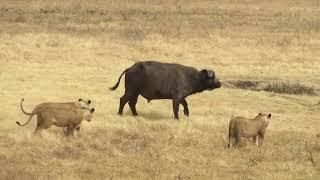 Filmato leonesse e bufali
