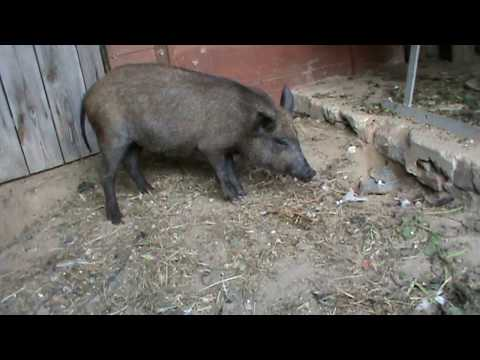 Вылаживем кабана. Грыжевик / We will make out the wild boar
