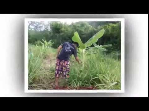 กล้วยกลับหัว บ้านร่องเจริญ ราชบุรี