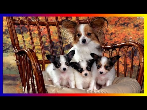 Funniest Papillon Dog Breeds s Compilation  Funny Dog Cute