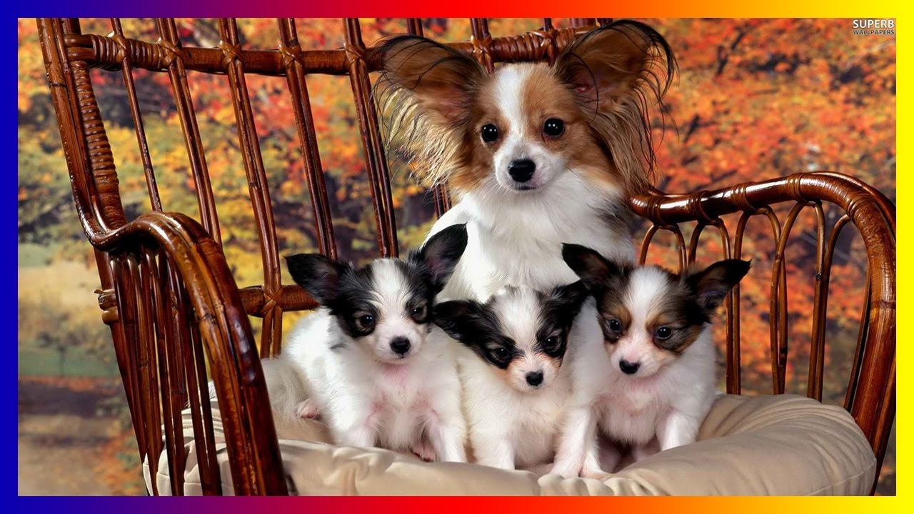 Dogs And Puppies Wallpaper Funniest Papillon Dog ...