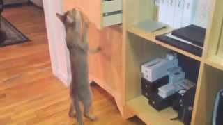 Funny, smart cat. Abyssinian opens drawer to get her toys