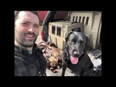 Pheasant Hunting With Labrador Retriever - Ringnecks On Broadway III