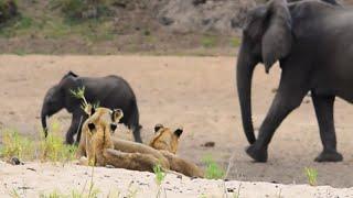 Lion pride close to Ratel Pan - Kruger Park
