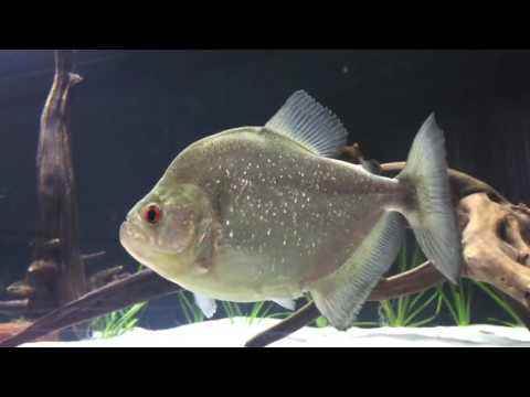 Serrasalmus rhombeus - Red Eye Piranha 1