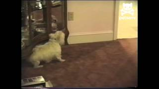 Westie Relieves Itch On China Cabinet