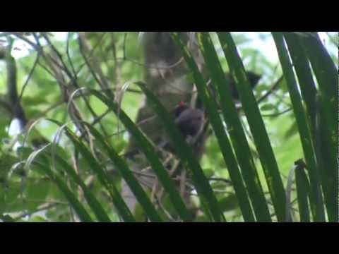 Flame-crested Tanager (Tachyphonus Cristatus)