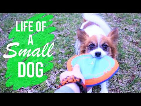 What It's Like Being a Small Dog // Percy the Papillon Dog