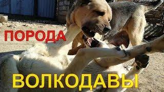 (армянский волкодав) — аборигенная порода собак,