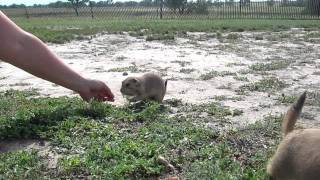 Feeding Prairie Dogs - Cactus Flats, South Dakota