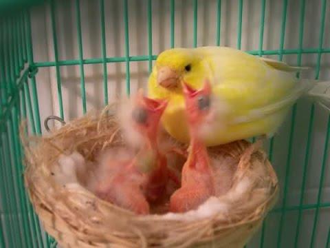 Come allevare un canarino abbandonato dalla madre