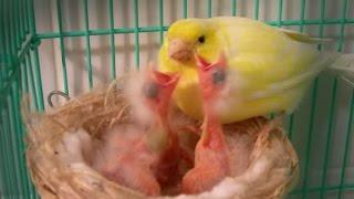 Repeat youtube video Come allevare un canarino abbandonato dalla madre