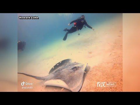 Divers swim with enormous stingray off Florida gulf coast