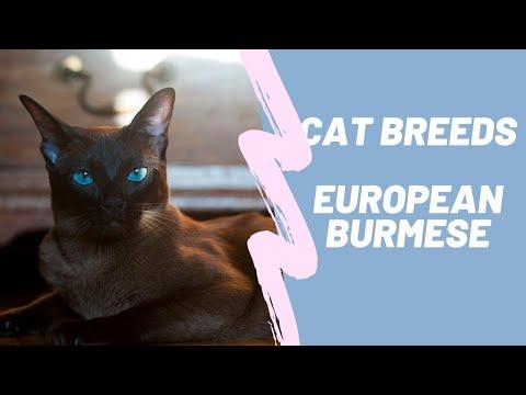 EUROPEAN BURMISE  CAT BREEDS