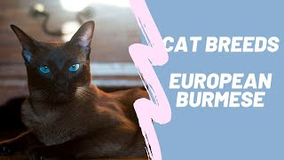 EUROPEAN BURMISE  CAT BREEDS