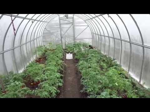 Вопрос: Почему листья у томатов скручиваются в трубку и что с этим делать?