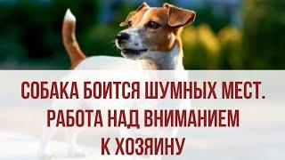 Что делать, если собака боится улицы, города и шумных мест? Работа над вниманием к хозяину