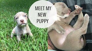 MEET MY NEW PITBULL PUPPY!