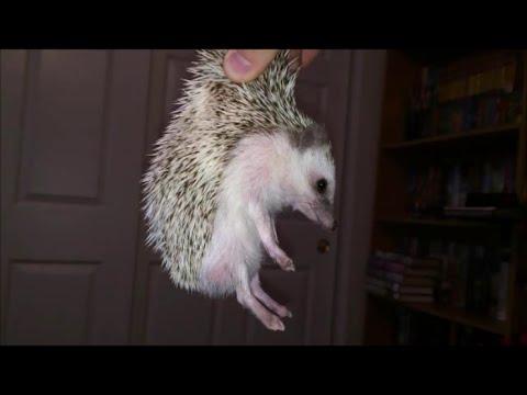 How to Scruff a Hedgehog