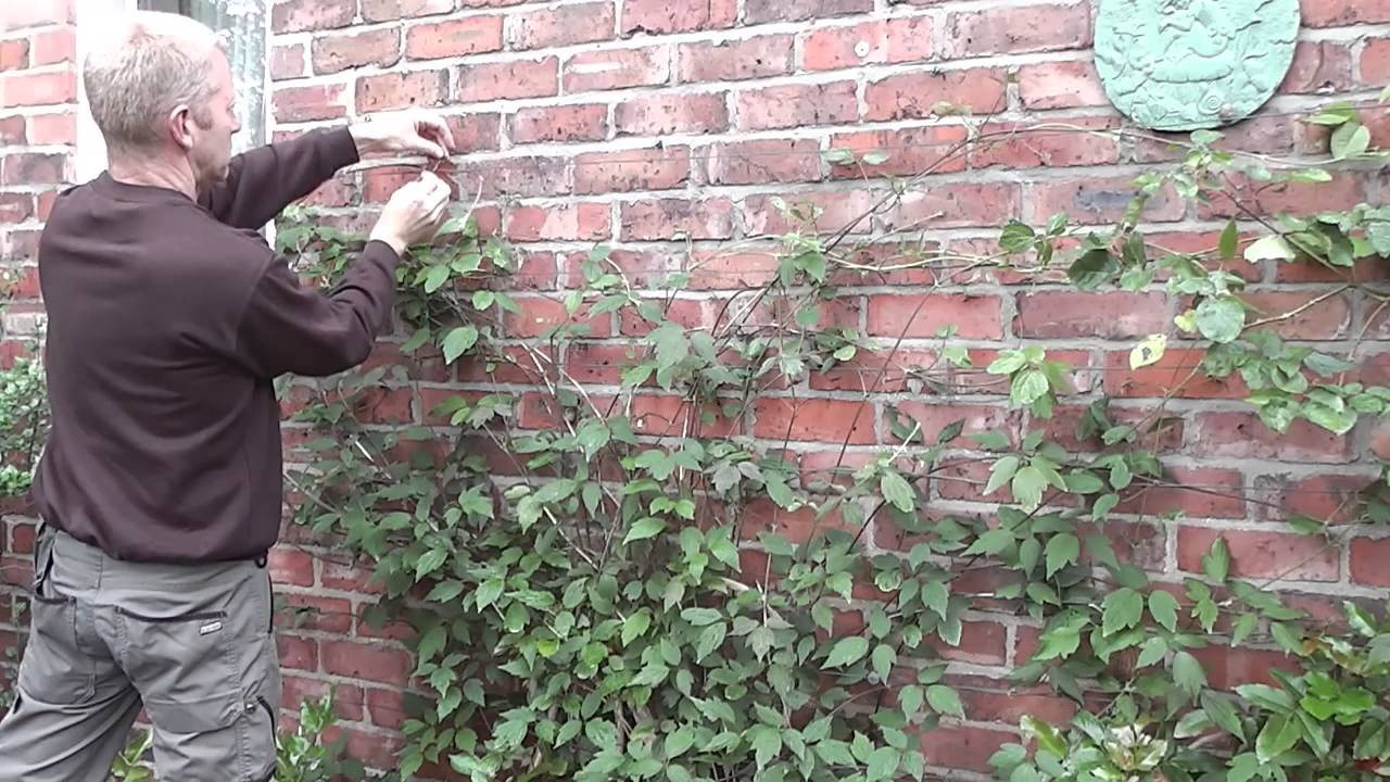 How to train clematis on wires on a wall youtube - How to fish wire through exterior wall ...