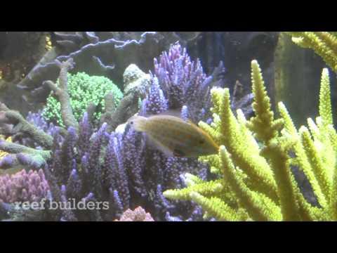Orange Spot Filefish