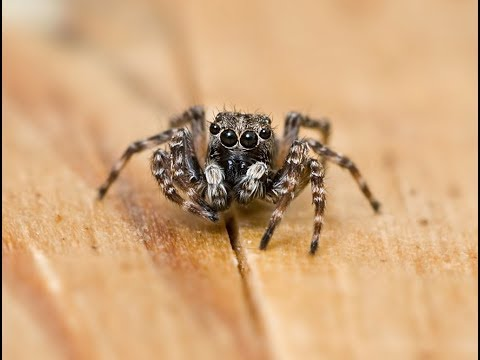 Uk Jumping Spider