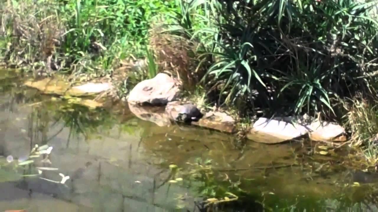 Bassin tortues aquatique clemmys et cistudes 2012 youtube - Bassin pour tortue aquatique villeurbanne ...