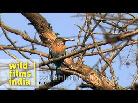 Indian roller or Coracias benghalensis
