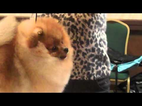 best of Breed at the Columbia Pomeranian Club 2011 no.1