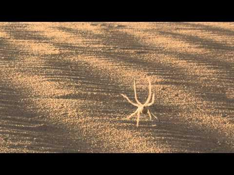 Cartwheeling Spider Rolls across the Desert
