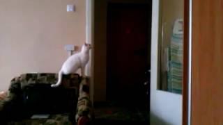 Белая кошка высоко прыгает