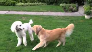 Ferocious Dog Fight Between Poodle And Golden Retriever