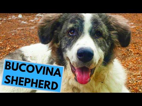 Bucovina Shepherd Dog Breed - Facts and Information