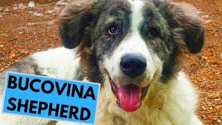 Bucovina Shepherd Dog Breed  Facts and Information