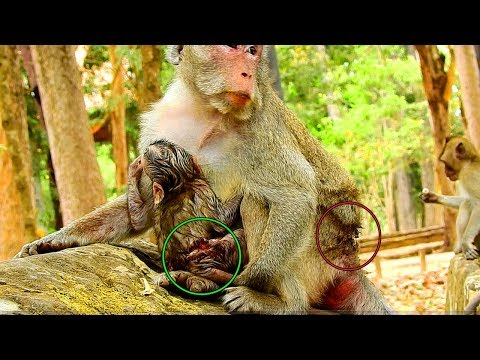 Update News, Both Janet &Jane Got Attacked So Hard By Forest Monkey Troupe, Hurt & Wound On Tummy,