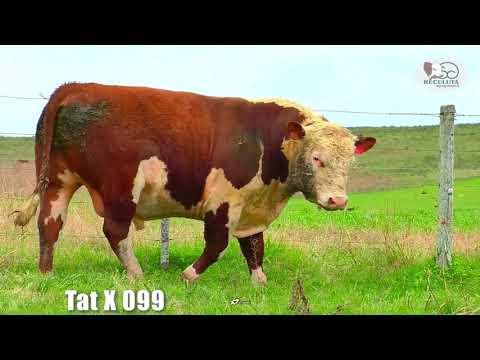 LOTE 05   TAT X099 TOURO HEREFORD RECULUTA AGROPASTORIL