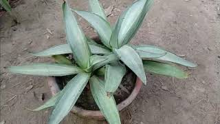 how to Care Yucca Plant Growing tips Urdu Hindi
