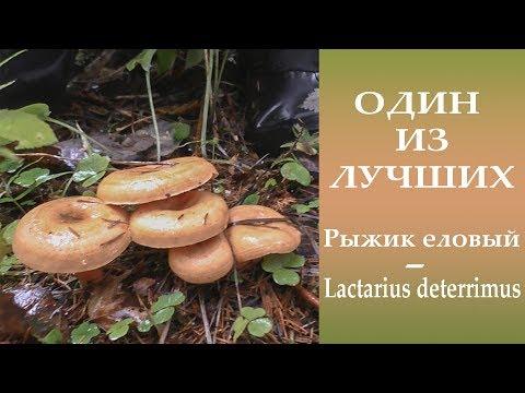 Один из лучших. Рыжик еловый - Lactarius deterrimus