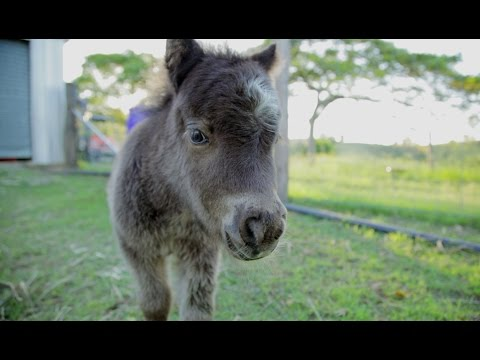 Charlie - Miniature Horse With Attitude