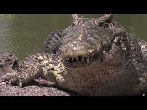 Conservation of Cuban Crocodiles | WCS